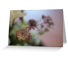 Pink Astrantia Greeting Card