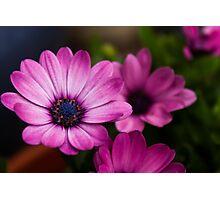 Purple Flowers in Full Bloom Photographic Print