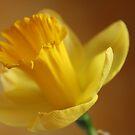 Daffodil by karina5