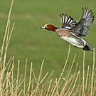 Widgeon Taking Flight by Robert Abraham