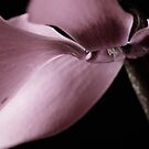 Cyclamen by Laura Melis