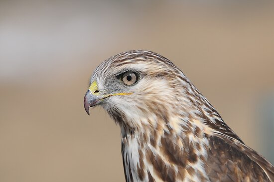 Rough-legged Hawk Portrait by Ron Kube