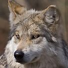 Up Close Wolf by Anthony Roma