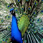 Peacock Blue by Malcolm Clark