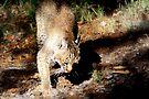 Bobcat by AuntDot