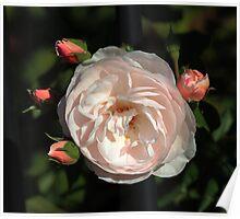 Delicate Olde Worlde Roses Poster