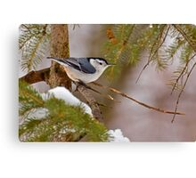Winter Nuthatch Canvas Print