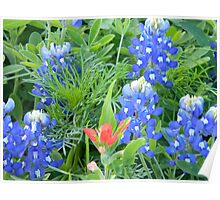 Electric Bluebonnets with Indian Paintbrush Poster