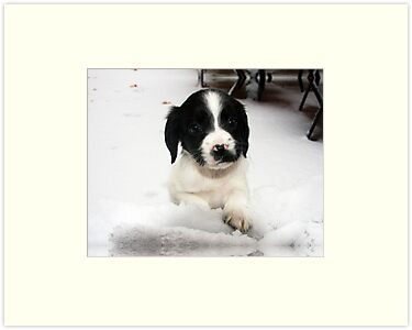 Benson our springer spaniel in Snow by Paul Morris