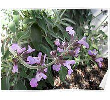 Sage In Bloom Poster