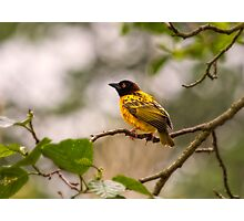Village Weaver Photographic Print