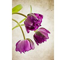 French Tulips Photographic Print