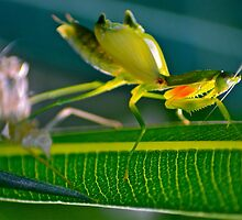 Praying Mantis 3. by Alison Hill