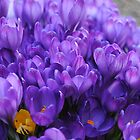 Spring Delight - Crocuses by goddarb
