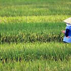 Padi field just outside Hanoi, Vietnam. by Phil Bower