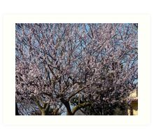 Apricot Blossom Art Print
