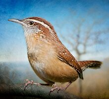 Carolina Wren  by Bonnie T.  Barry