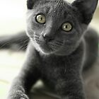 Grey Cat 2 by Diana  Kaiani