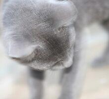 Grey Cat 5 by Diana  Kaiani