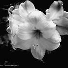 Beauty in Black and White by AnnaMarie B
