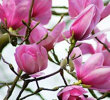 Magnolia blossom by Magdalena Warmuz-Dent