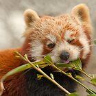 Red Panda by John Dickson