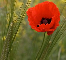 Poppy by Jane Horton