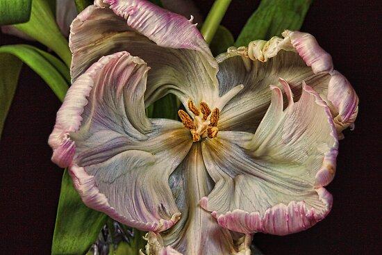 Cabbage Tulip by Wendi Donaldson Laird