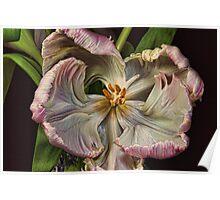 Cabbage Tulip Poster
