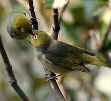 Silvereye Feeding in Spring by mountainpics