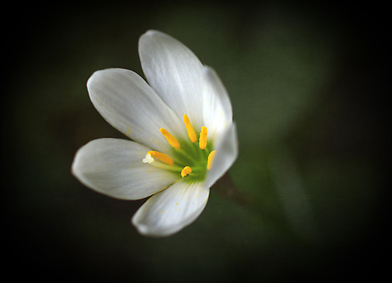 White crocus by Clare Colins