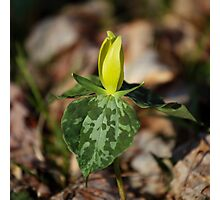 Yellow Trillium II Photographic Print