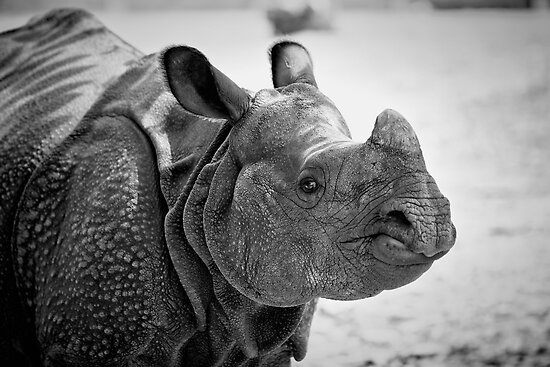 Black Rhino by Jeff Palm Photography