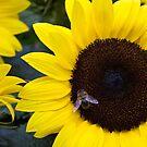 Summer Days Honey Bee in Sunflower by Silken Photography