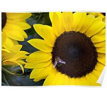 Summer Days Honey Bee in Sunflower Poster