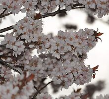Plum Tree by Butterfly2008