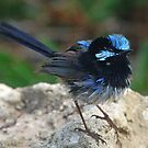 Superb Fairy-wren by jozi1
