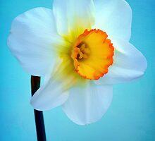 Daffodil Portrait by Anita Pollak