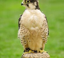 Lanna Falcon (Falco biarmicus) by Rod Johnson