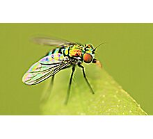 Common House Fly on Leaf  Photographic Print