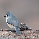 Tufted Titmouse by barnsis