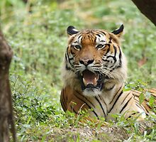 Show me your teeth (Malayan Tiger) by cs-cookie