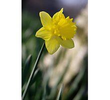 Daffodil 1 Photographic Print