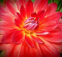 Red and Yellow Dahlia by kahoutek24