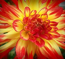 Red and Yellow Dahlia 2 by kahoutek24