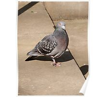 Pigeon  Poster