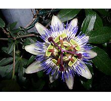 Passion flower (passiflora incarnata) Photographic Print