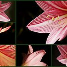 lily, from bud to bloom by lensbaby