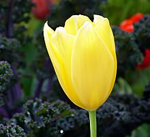 Yellow tulip with Kale by Scott Mitchell