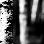 Silver, Black, White Birch by WillOakley